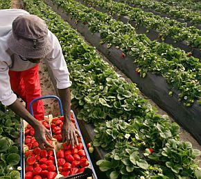 Лондон иска берачите да говорят на английски с ягодите