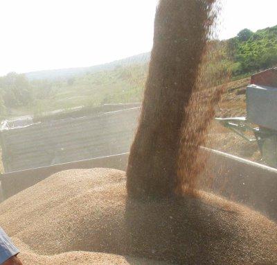 По 35 лв. за декар погубена пшеница