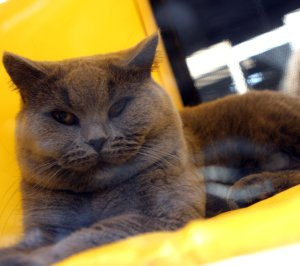 Над 170 котки оспорват красотата си на изложба
