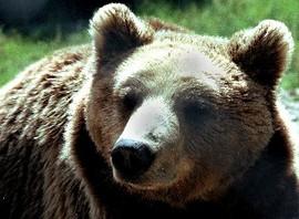 Топлото време развали зимния сън на мечките в Белица