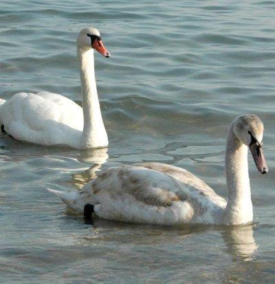 Спасиха лебед, пресичащ пътя Бургас - Созопол