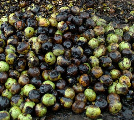Орехите подобряват плодовитостта на мъжете