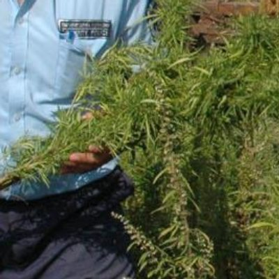 Осъдиха 73-годишна дилърка за 4 тона марихуана