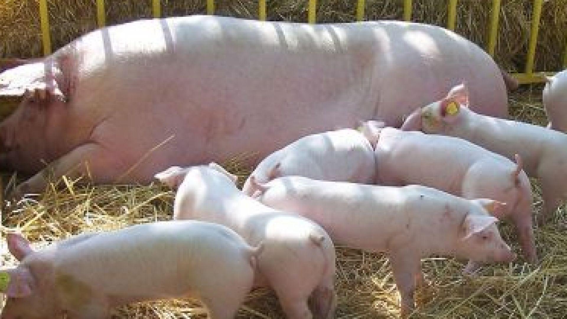 БАБХ: Щетите от чумата по прасетата може да достигнат 2 млрд. лева
