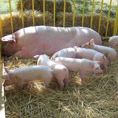 Ветеринар: Има пробройна в контрола на месото