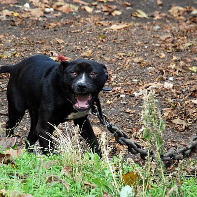 Три кучета разкъсали баба Гина, едното питбул