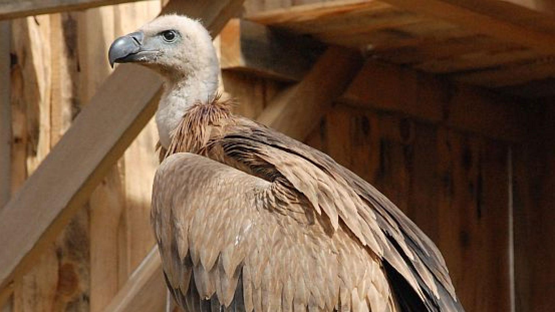 Разследва се сигнал за отровени белоглави лешояди и скален орел
