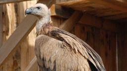 Разследва се сигнал за отровени белоглави лешояди в Искърското дефиле