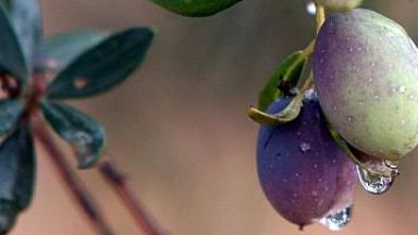 Търговската война удари и по испанските маслини