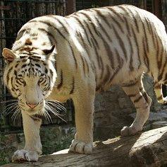 Световната популация на тигри е нараснала за пръв път от век