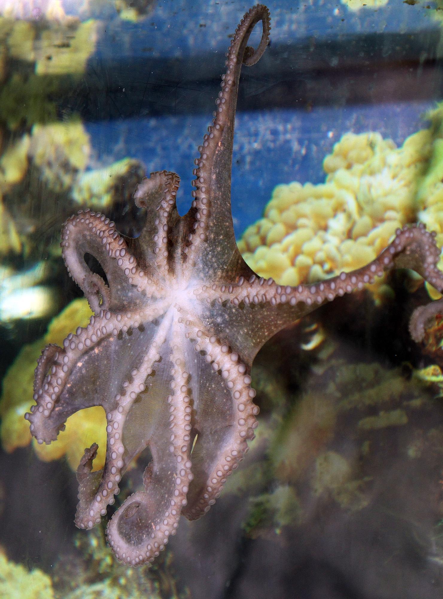Невероятните възможности на октоподите
