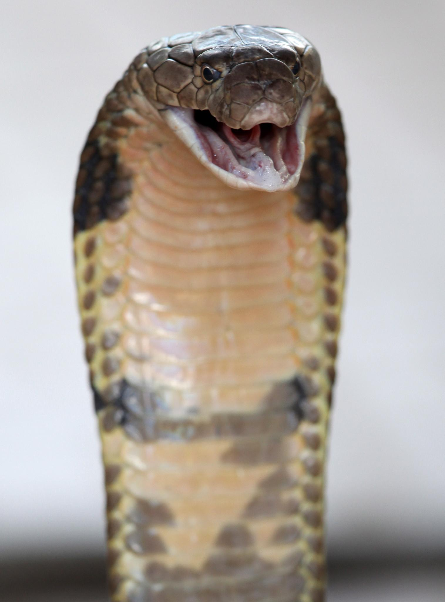 Индийци пуснаха 40 змии в данъчното в знак на протест