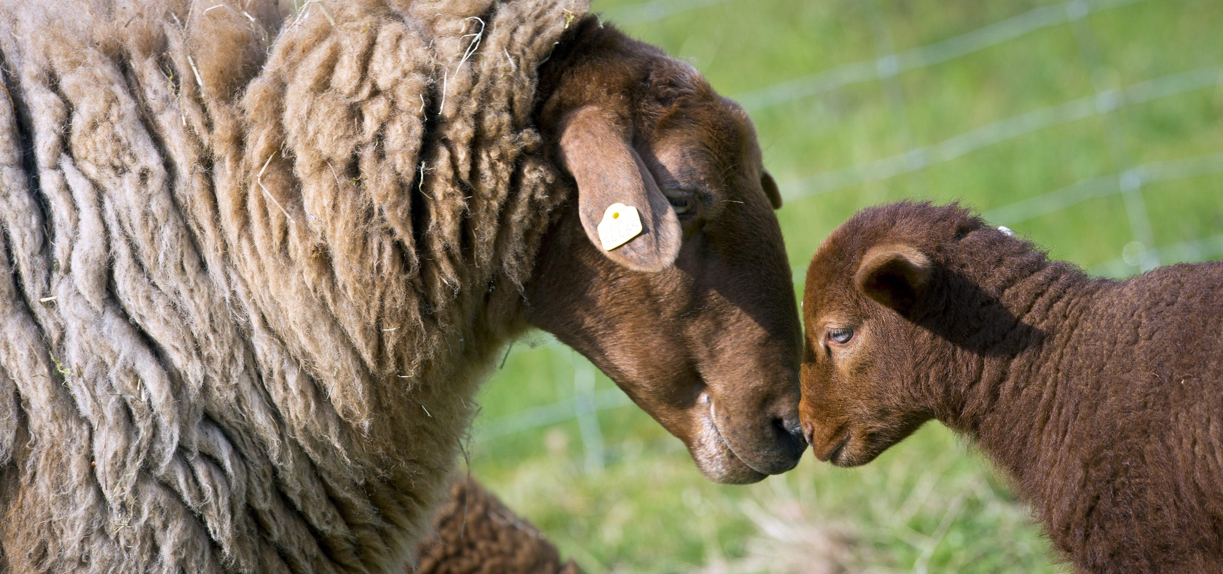 В Париж смениха косачките с овце