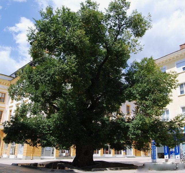 Старият бряст е европейско дърво на годината (обновена)