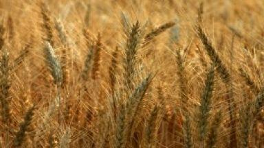 Очакват 25% спад на ожънатата пшеница
