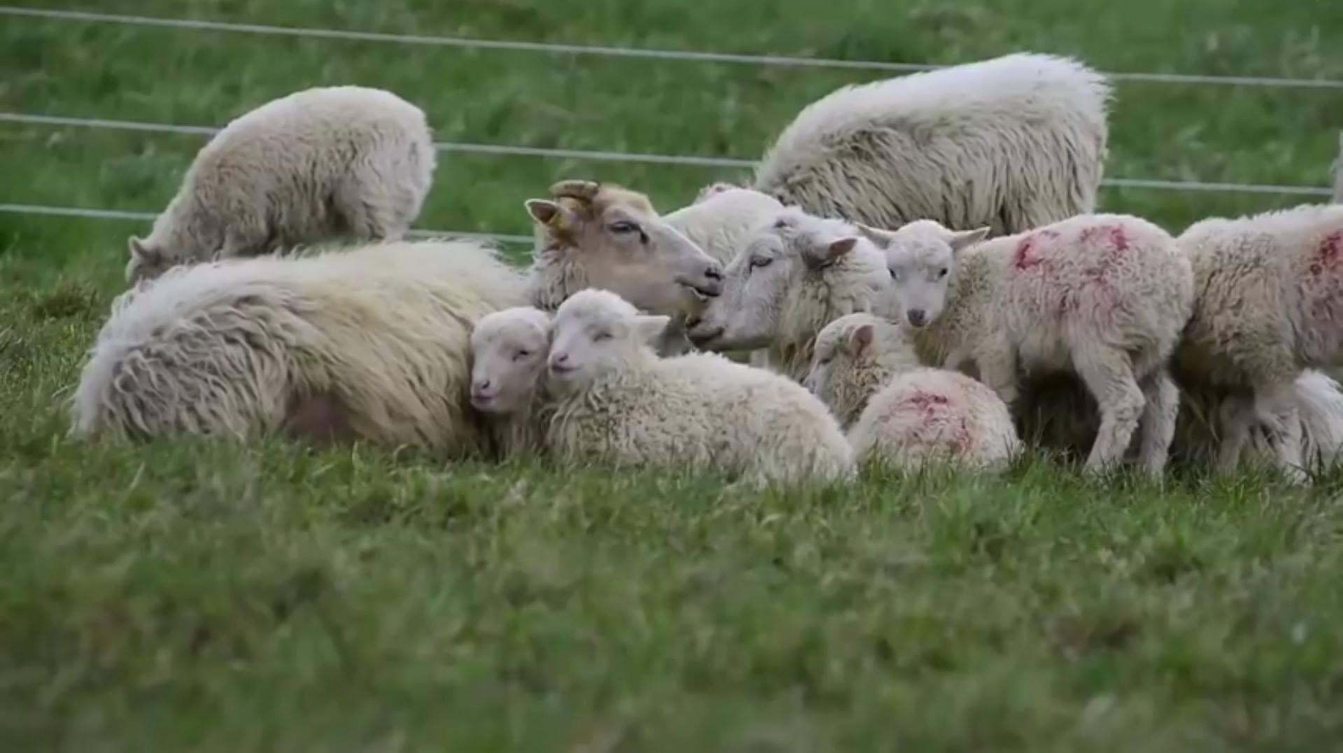 Швейцарските железници наеха овце-косачки (видео)