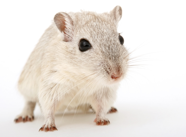 """Учени """"хакнаха"""" мозъка на мишка"""