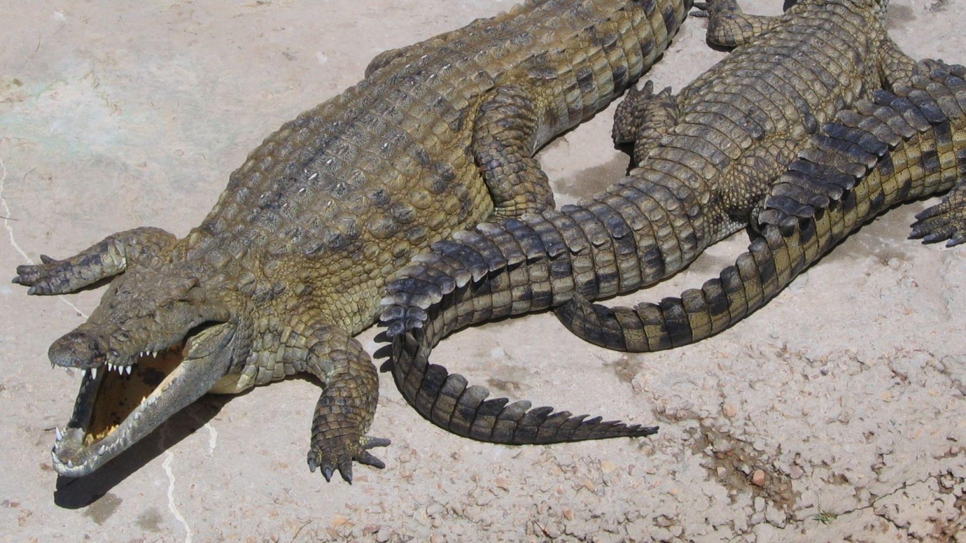 Убиха с чукове, тояги и ножове близо 300 крокодила във ферма (видео)
