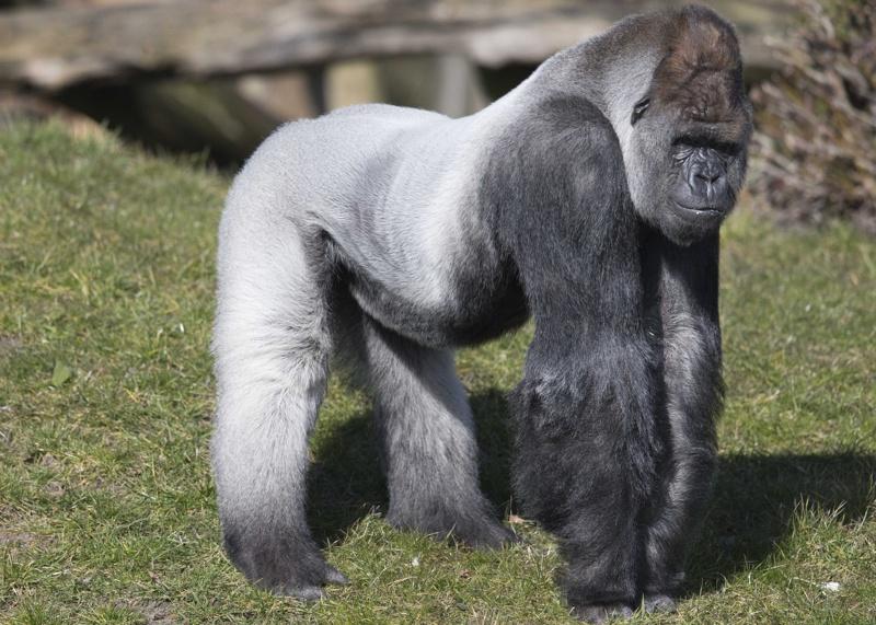 Прокурори в САЩ се заемат с убийството на горилата Харамбе
