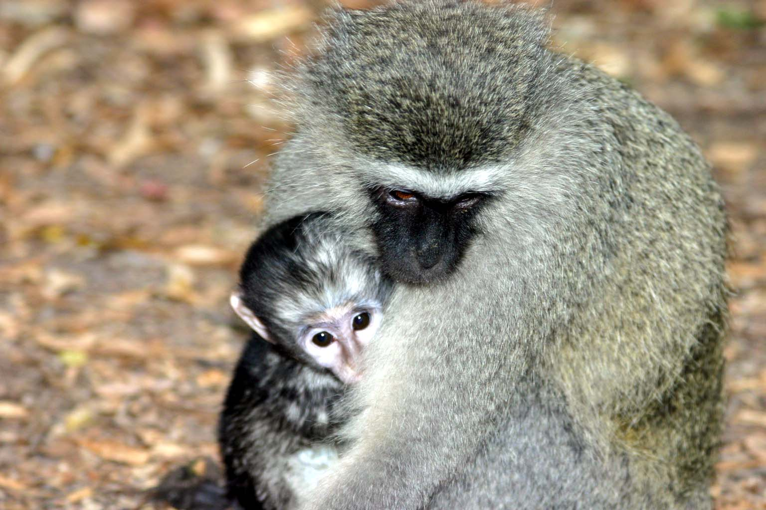 Една маймунка успя да спре тока на цяла Кения