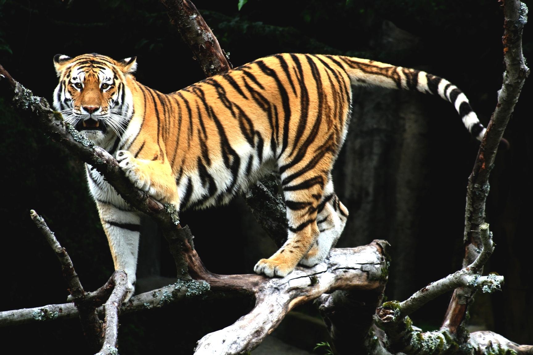 Хитра маймуна унижи тигър в резерват в Индия