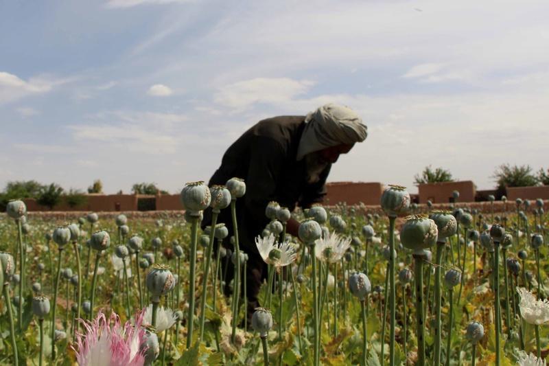 Афганистанските шамфъстъци са зелено злато... за талибаните