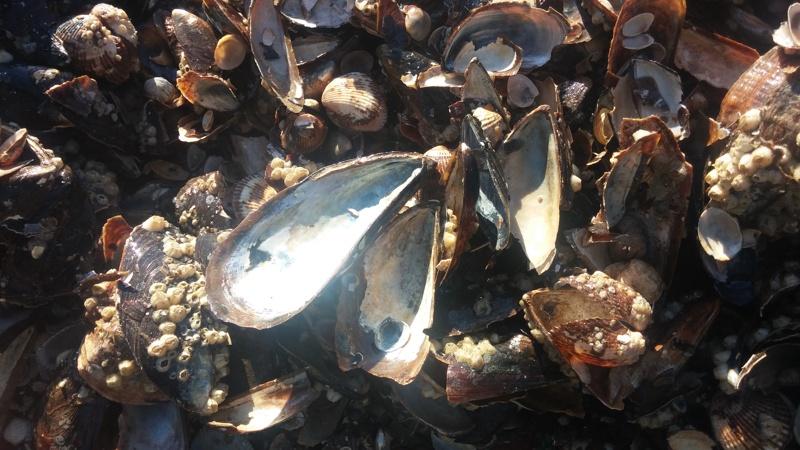 Забраниха улова на бели пясъчни миди в Черно море
