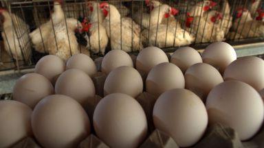 Германските кокошки снесли средно по 298 яйца годишно