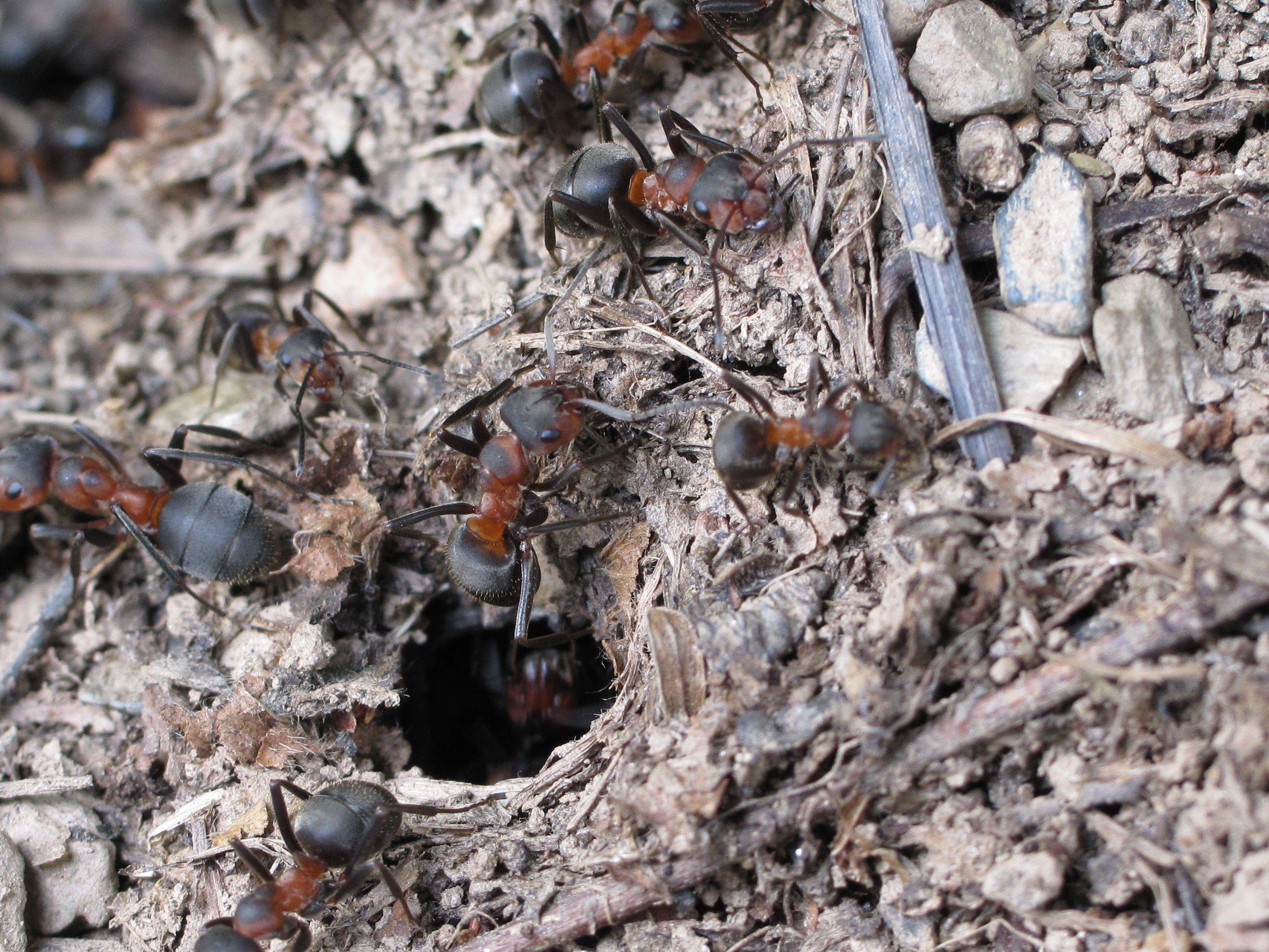 Разработват нови антибиотици чрез мравки