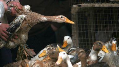 Умъртвяват 100 хил. бройлери и патици заради птичи грип