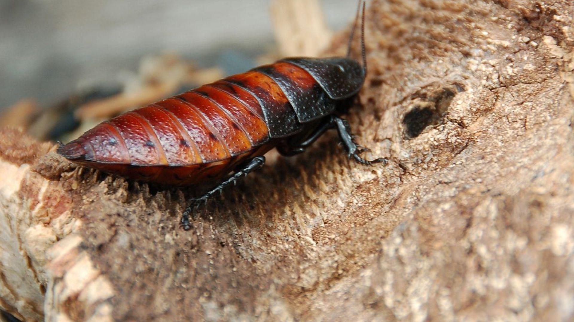 Японски учени трансформираха мадагаскарски хлебарки в киборги