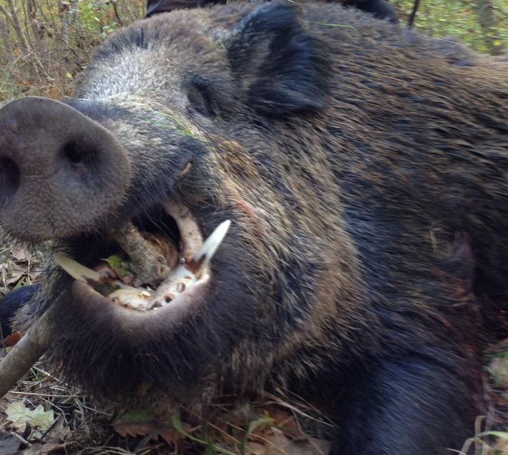 Месо от диво прасе тръшна 17, 2-ма са в болница