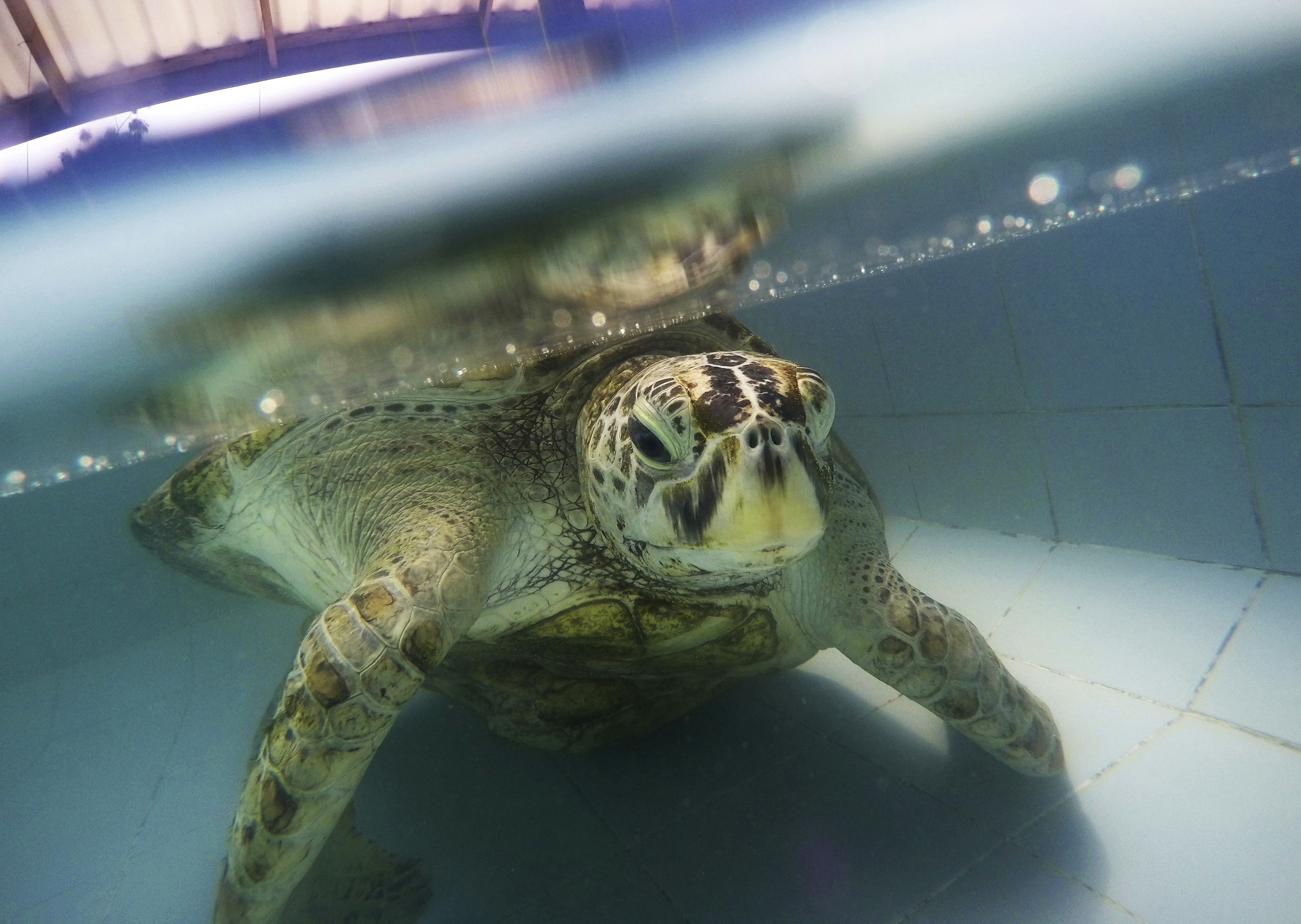 В Тайланд почина костенурката, погълнала 915 монети