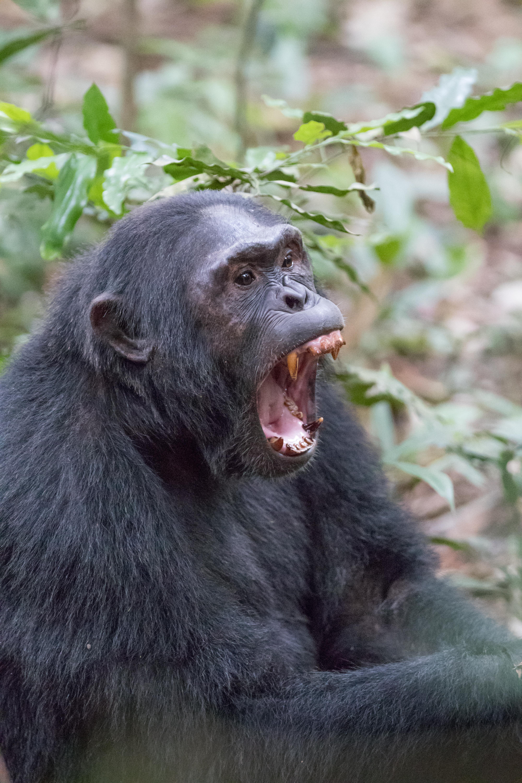 Шимпанзетата мразят Адел и Бийбър, харесват Моцарт