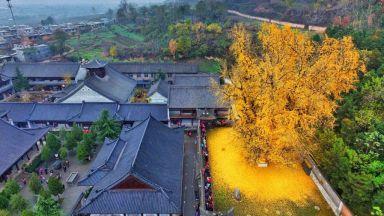 Листата на 1400-годишно дърво се превръщат в океан от злато