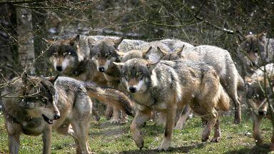 Вълци от Чернобил могат да докарат радиоактивни гени в Европа