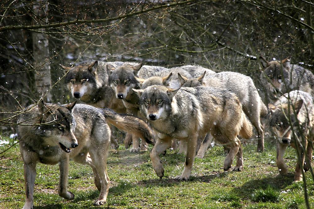 Френските овцевъди отчаяни от вълчи набези