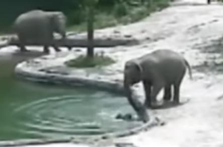Слонове спасиха от удавяне малкото си в зоопарк