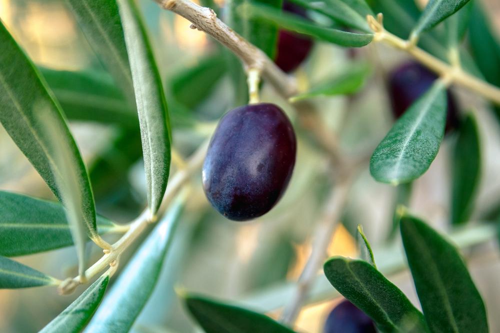 САЩ наложиха мито и на испанските маслини, в ЕС бесни