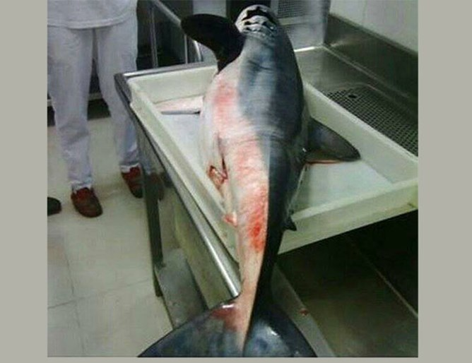 Акула, дълга над 2 мерта, уловиха в Черна гора