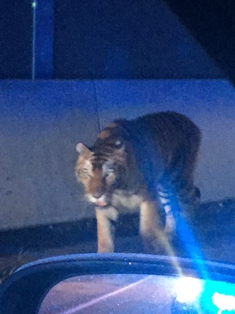 Убиха циркова тигрица, нападнала домашно куче в САЩ