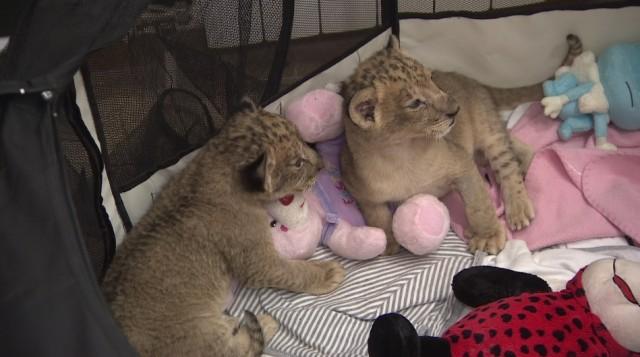 Ранените лъвчета в Разград оцеляха, но нямат къде да отидат
