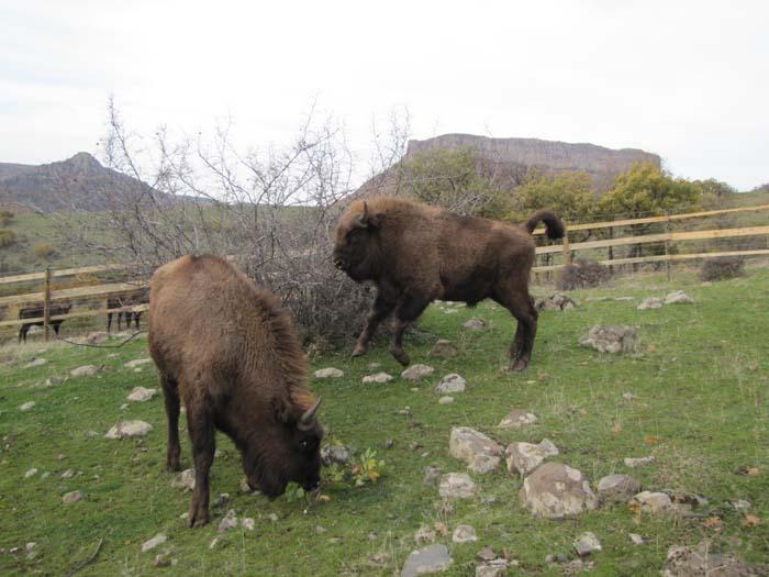 Още два зубъра се заселиха в Източните Родопи