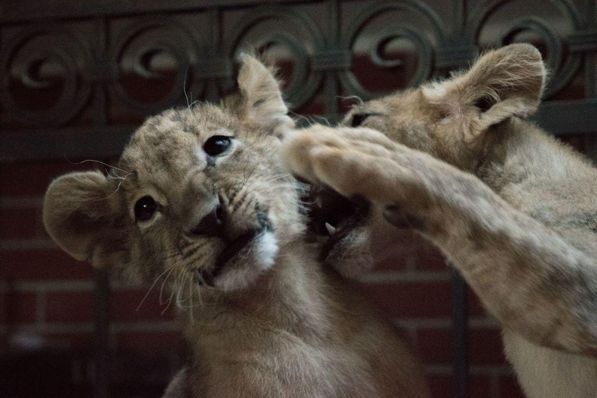 Протест в защита на лъвчетата Масуд и Терез пред МС