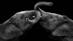 Можете ли да обичате като слон?
