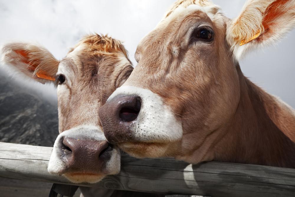 Консумацията на говеждо месо увеличава затоплянето