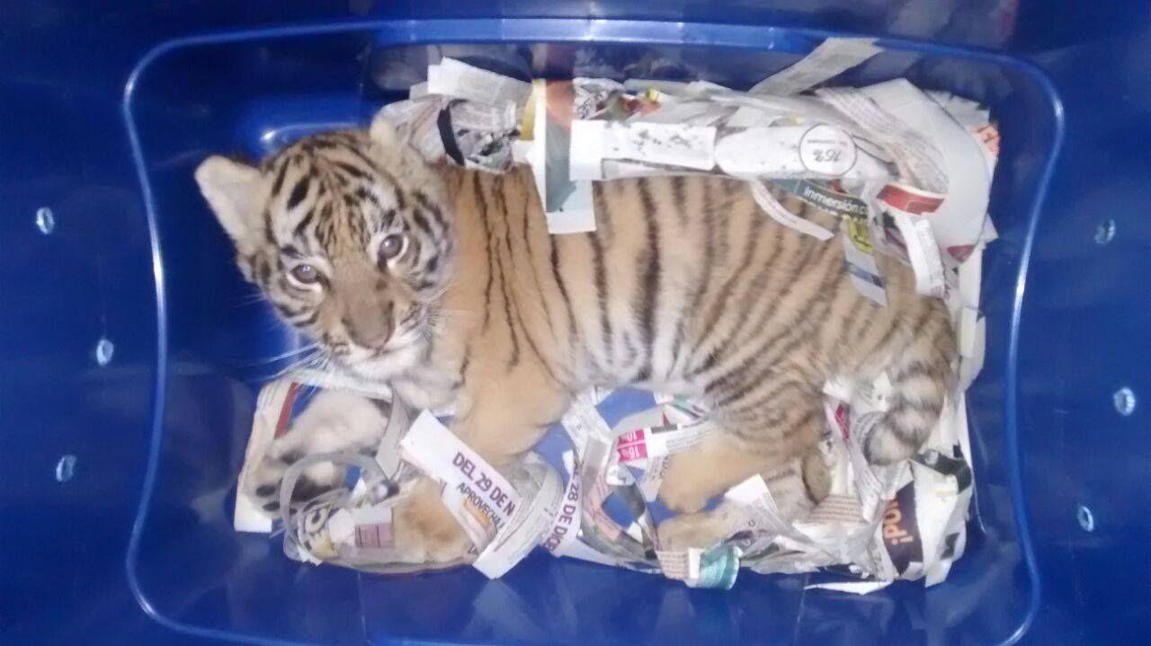 Откриха живо тигърче в колет (видео)