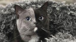 Фотограф засне коте с две лица и забележителна окраска