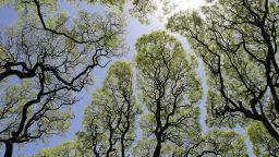 Срамежливи дървета - една възхитителна гледка