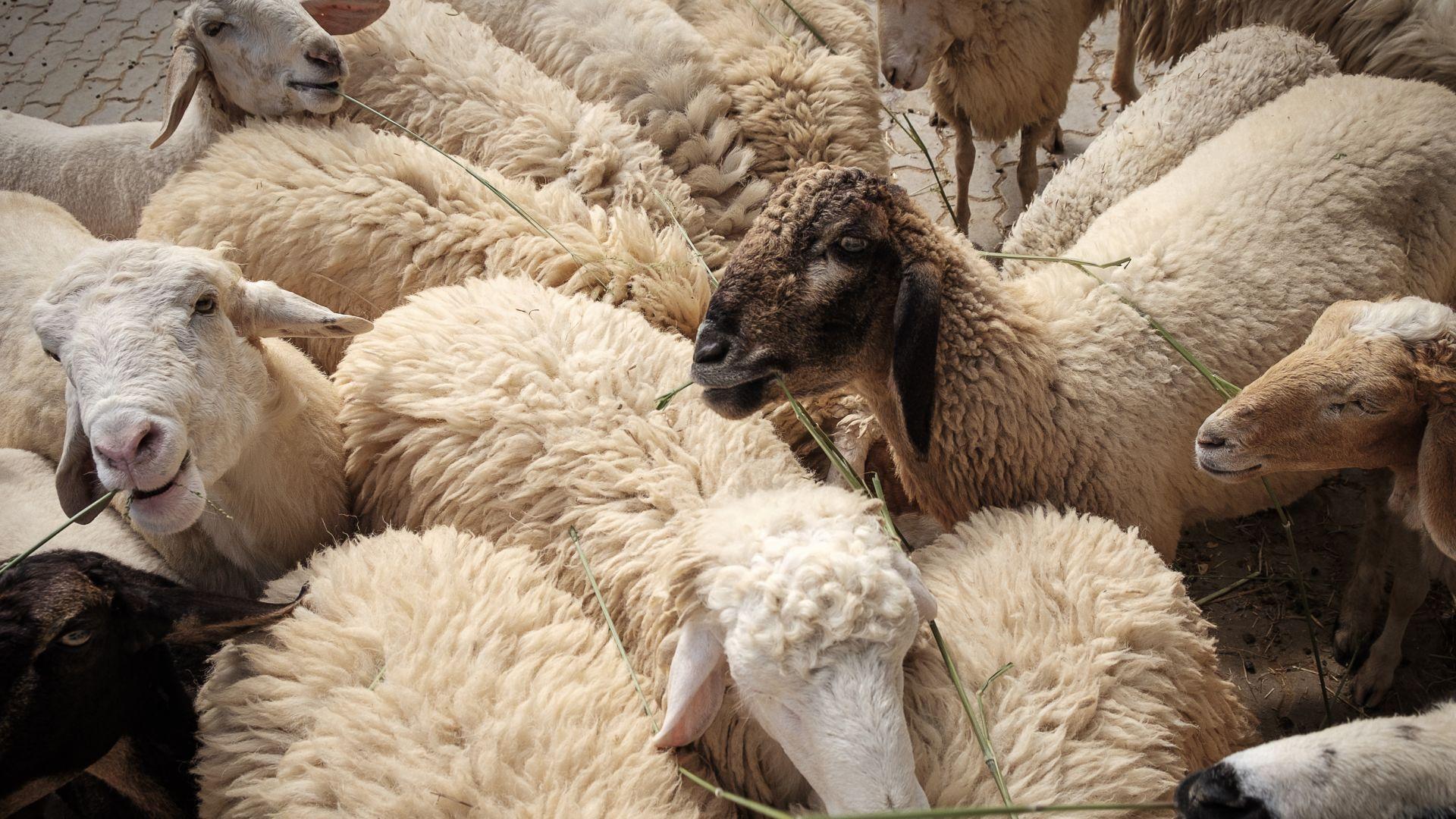 """Месото """"халал"""" не е биопродукт, реши съд на ЕС"""